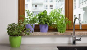 Doniczkowy ogródek ziołowy